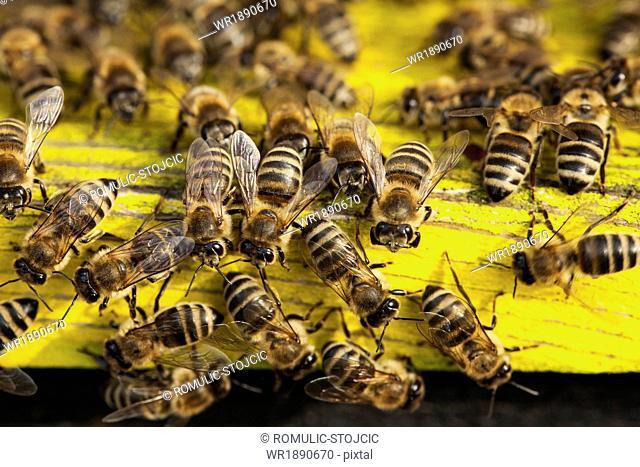 Beehive, (Apis mellifera),Croatia, Europe