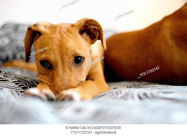 Portrait of cute brown mixed breed puppy at home