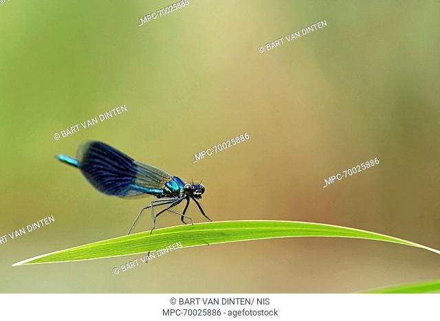 Banded Demoiselle (Calopteryx splendens) male, Escharen, Noord-Brabant, Netherlands