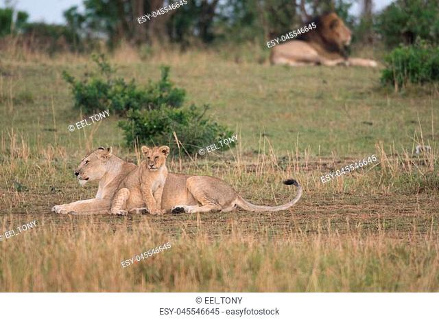Lioness and cub with male lion in the background in Masai Mara Game Reserve, Kenya