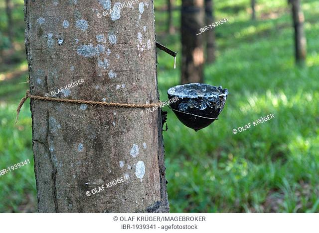 Rubber tree (Hevea brasiliensis), natural rubber production on a plantation in Ponmudi, Western Ghats, Kerala, South India, India, Asia
