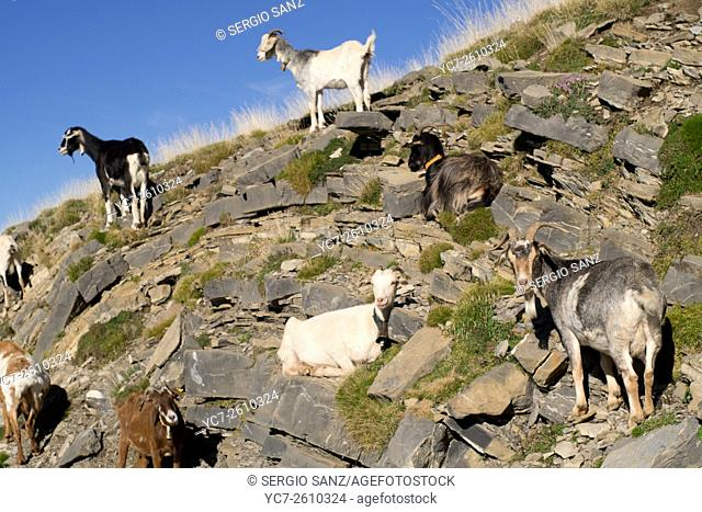 flock of goats, Ordesa Park