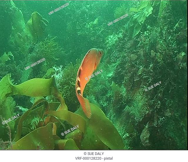 Cuckoo wrasse swimming amongst the weeds, with other fish. Channel Island, UK