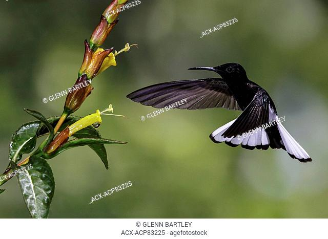 Black Jacobin (Florisuga fusca) flying and feeding at a flower in the Atlantic rainforest of southeast Brazil