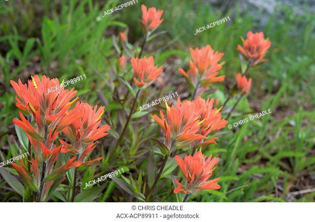 Indian Paintbrush (Castilleja sp.), Clayoquot Island Preserve, or Stubbs Island, near Tofino, British Columbia, Canada