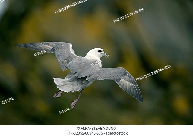 Northern Fulmar (Fulmarus glacialis) adult, in flight, hanging in wind, Shetland Islands, Scotland, April