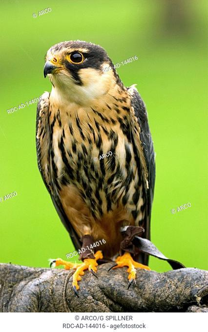 Hobby Falcon on falconer's glove USA Falco subbuteo Eurasian Hobby Northern Hobby