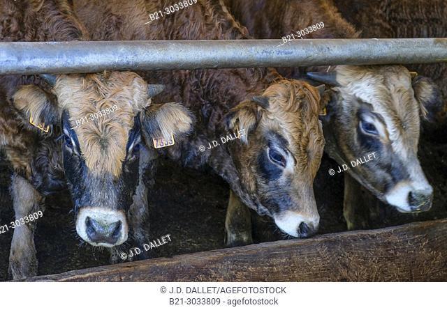 France, Auvergne, Cantal, calves on a farm at Germés, by Maurs. Dordogne river surrounding