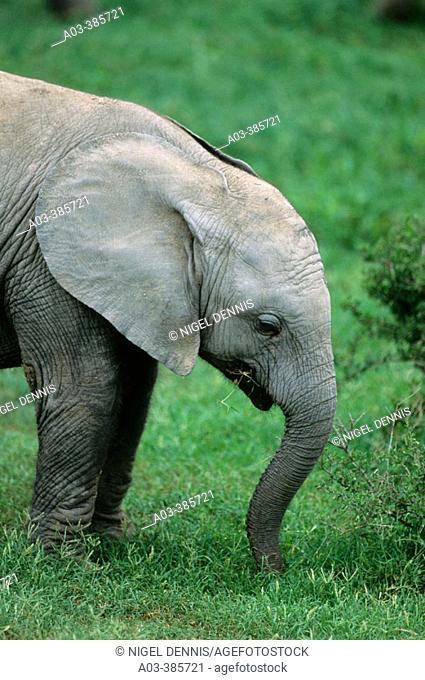 African Elephant (Loxodonta africana) baby grazing. Addo Elephant National Park. South Africa