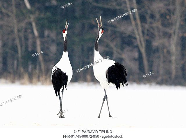 Japanese Red-crowned Crane Grus japonensis adult pair, calling, displaying in snow, Akan, Hokkaido, Japan, winter
