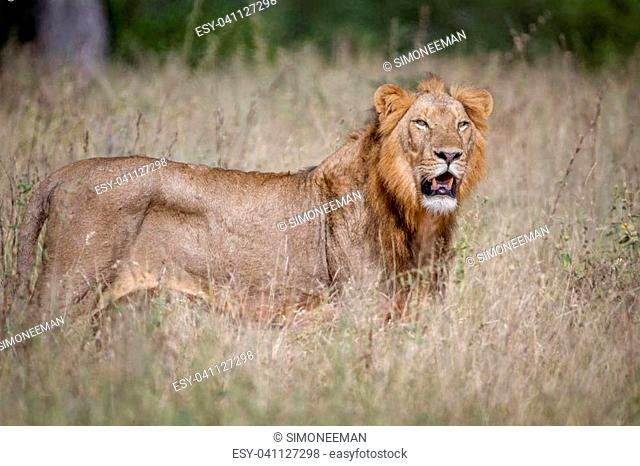 Male Lion standing in the high grass in the Kruger National Park, South Africa
