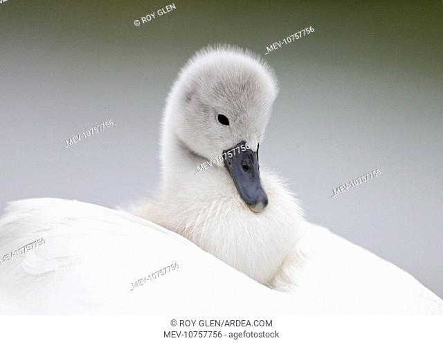 Mute Swans - chick hitching a ride on parent (Cygnus olor)