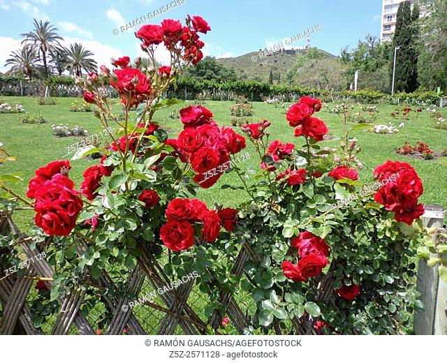 Exposición de Rosas Parque Cervantes mayo 2013