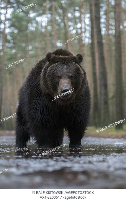 Brown Bear ( Ursus arctos ) standing in shallow frozen water at the edge of a forest, frontal shot, low point of view, Europe