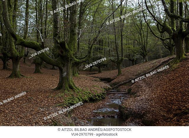 Beech forest called Otzarreta, Gorbeia natural park, Basque Country