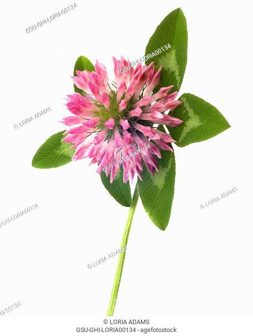 Flowering Clover against White Background