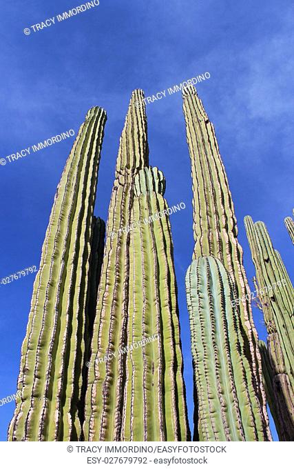 Close up of the upper branches of a Cardon Cactus, with a blue sky as the background, in Arizona, USA