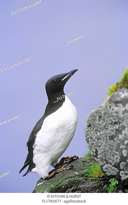 Thick-billed Murre Seabird North America Uria lomvia