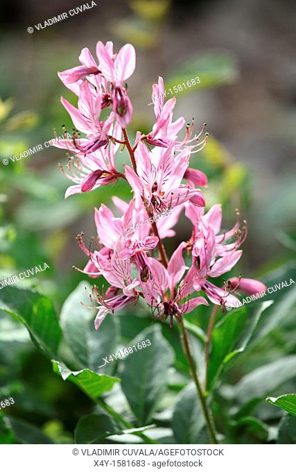 The white-pink flowers of Burning bush Dictamnus albus blooming in the woodlands of Male Karpaty, Slovakia