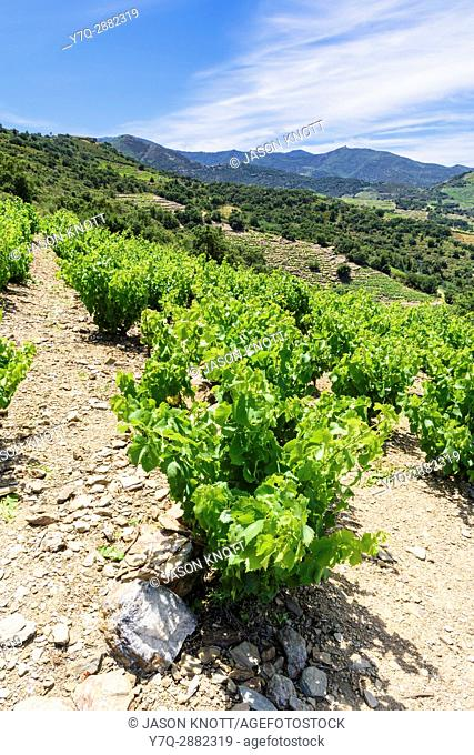 Vineyard grape vines in the Roussillon Region, Collioure, Côte Vermeille, Céret, Pyrénées-Orientales, Occitanie, France