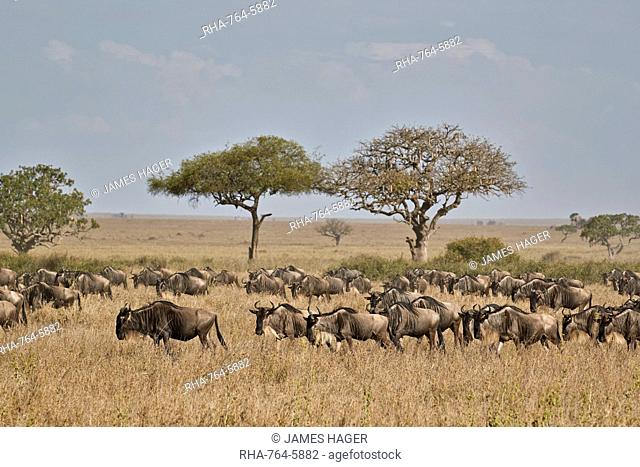Blue wildebeest (brindled gnu) (Connochaetes taurinus) migration, Serengeti National Park, Tanzania, East Africa, Africa