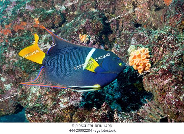 King Angelfish, Holacanthus passer, Cabo Marshall, Galapagos, Isabela Island, Ecuador