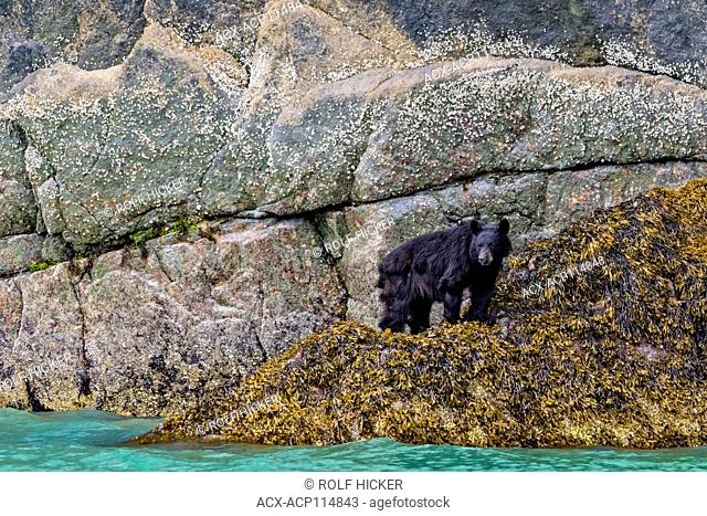 Black bear standing in seaweed near waterline at low tide along the steep cliffs in Knight Inlet, British Columbia, Canada