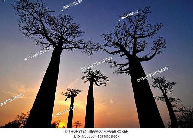 Baobab Avenue, Baobab trees (Adansonia digitata) at sunset, Madagascar, Africa, Indian Ocean