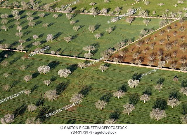 Aerial view of almond trees in the field, Mallorca lands, Balearic Island, Spain