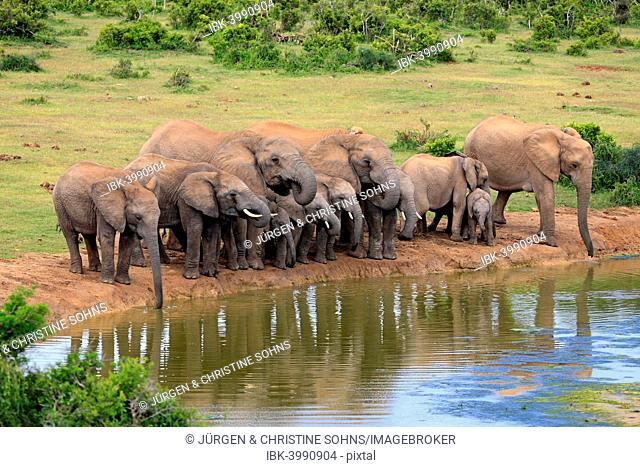 African Elephants (Loxodonta africana), herd at waterhole, Addo Elephant National Park, Eastern Cape, South Africa