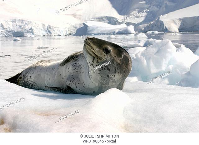 Leopard seal Hydrurga leptonyx resting on ice floe Antarctic Peninsula A4 only