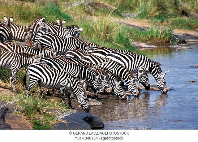 BURCHELL'S ZEBRA equus burchelli, HERD DRINKING AT RIVER, MASAI MARA PARK IN KENYA