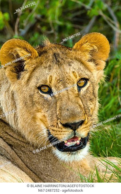 Female lions near Kwara Camp, Okavango Delta, Botswana