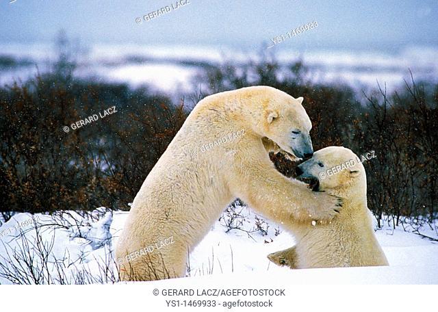 Polar Bear, thalarctos maritimus, Adults fighting, Churchill in Manitoba, Canada