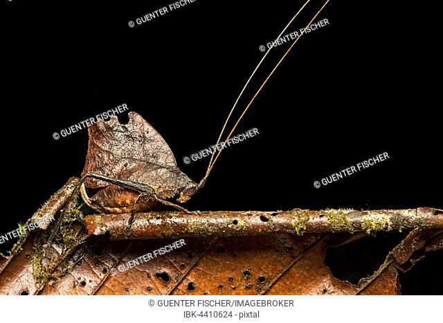 Katydid or bush cricket (Tettigoniidae) mimicking withered leaf, phytomimesis, Amazon rainforest, Copalinga, Zamora Province, Ecuador