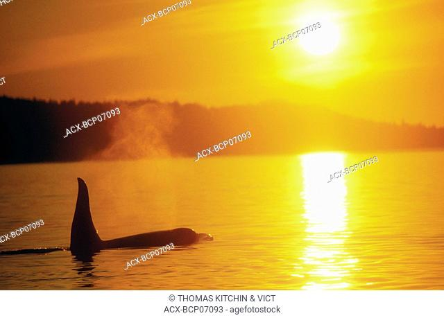 ORCA/KILLER WHALE Orcinus orca at sunset, Johnstone Strait, British Columbia, Canada