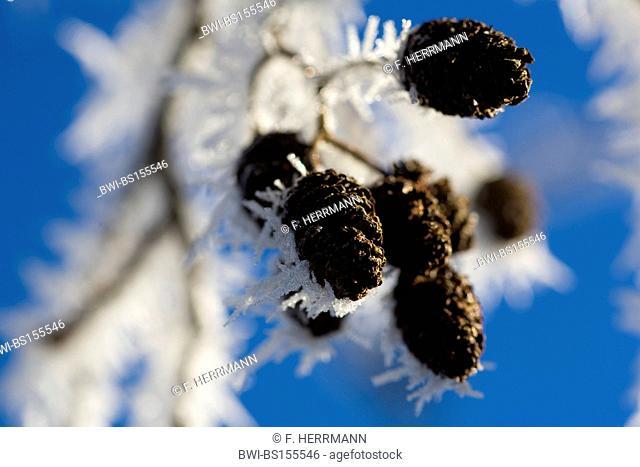 common alder, black alder, European alder (Alnus glutinosa), hoar frost on cones in winter, Germany, Saxony, Vogtlaendische Schweiz