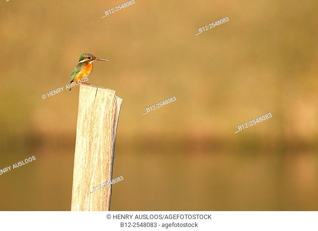 Common kingfisher (Alcedo atthis) Thailand