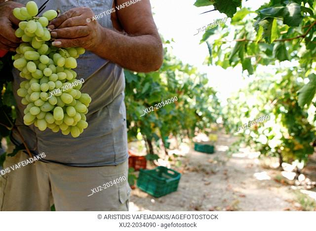 Foreign workers, most of them Albanians and Romanians, collect the grapes from the fields. The area of Nemea. in Peloponnese, has a unique wine tradition