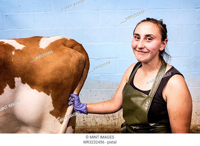 Young woman wearing apron holding Guernsey cow by her tail, smiling at camera