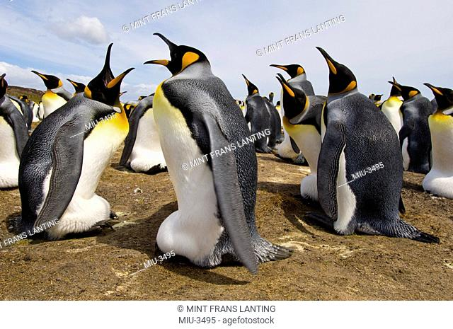 King penguins incubating eggs, Aptenodytes patagonicus, Falkland Islands