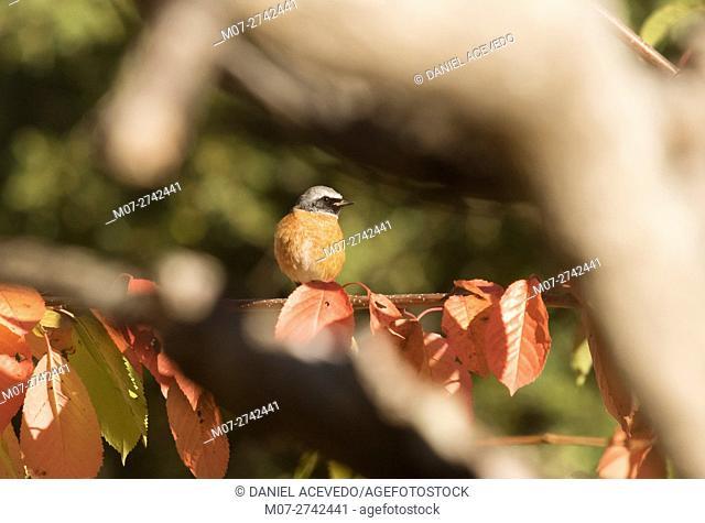 Common redstart (Phoenicurus phoenicurus) North of Spain. Eurpe