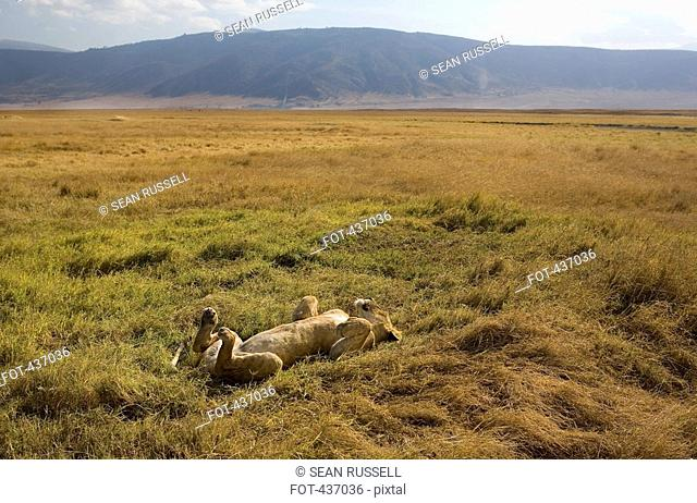 A lioness lying on her back