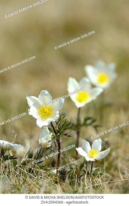 Close-up of Alpine pasqueflower or Alpine anemone (Pulsatilla alpina) flowering on a meadow