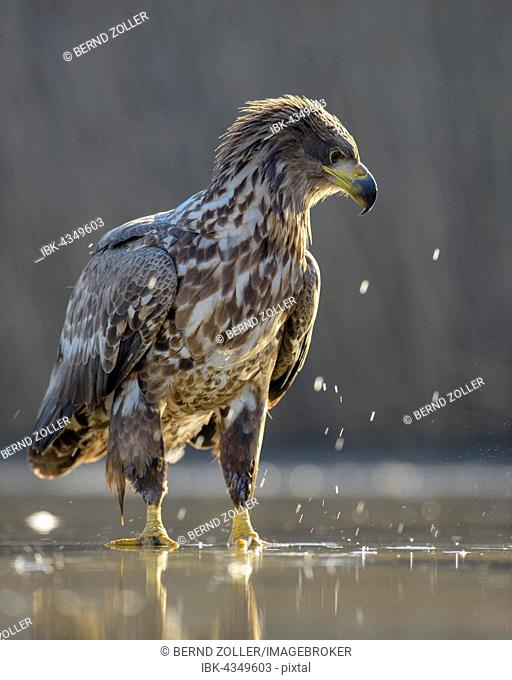 White-tailed eagle (Haliaeetus albicilla), young eagle in backlight in the shallow waters of a fish pond, Kiskunság National Park, Hungary