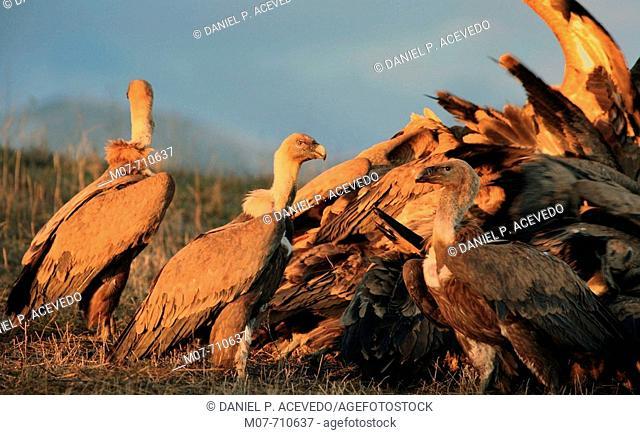 Vultures, Spain