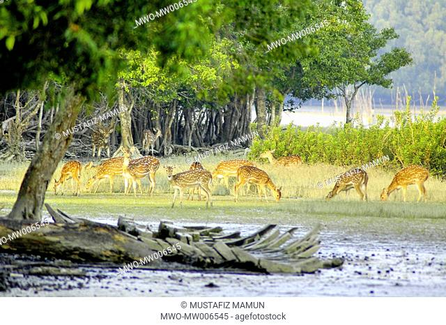 Spotted Deer in Sundorban It is the largest littoral mangrove forest in the world The Sundarbans cover an area of 38,500 sq km