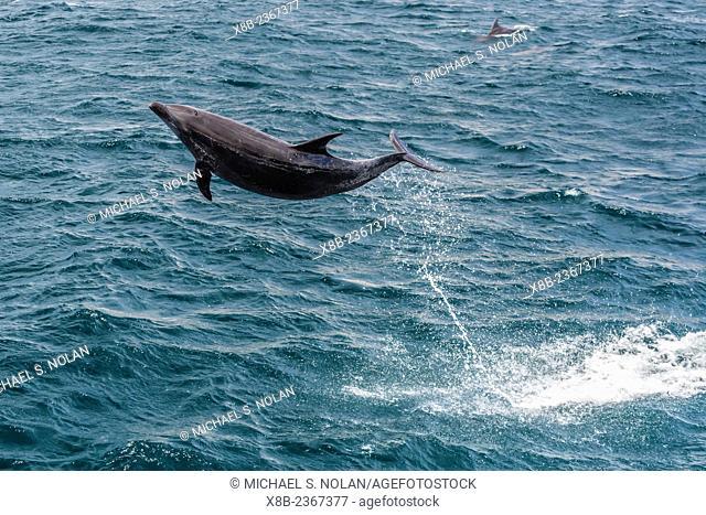 Adult bottlenose dolphin, Tursiops truncatus, leaping in the waters near Isla San Pedro Martir, Baja California Norte, Mexico