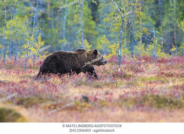 Brown bear, Ursus arctos, walking in red autumn colored bushes, Kuhmo, Finland