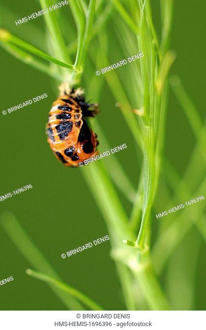 France, Territoire de Belfort, Belfort, garden, Asian lady beetle (Harmonia axyridis), nymph